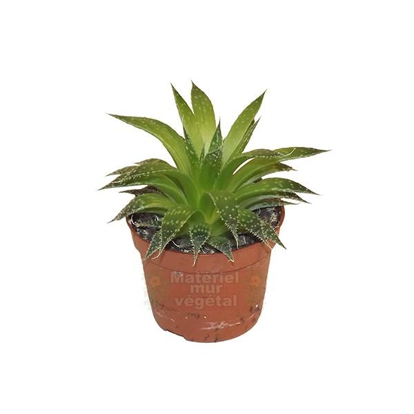 Aloe vera aristata en pot 6cm mat riel mur v g - Aloe vera en pot ...