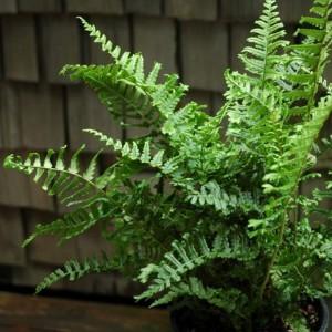 Dryopteris affinis en pot fausse foug re m le mat riel for Mur vegetal fausse plante