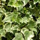 Hedera Helix en pot (lierre commun)