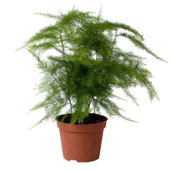 Asparagus plumosus for Asperge plante interieur
