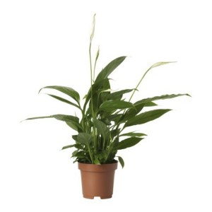 spathiphyllum wallisii en pot 6cm mat riel mur v g. Black Bedroom Furniture Sets. Home Design Ideas