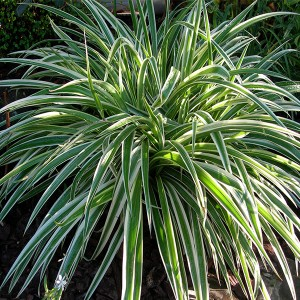 chlorophytum comosum en pot 9cm mat riel mur v g. Black Bedroom Furniture Sets. Home Design Ideas
