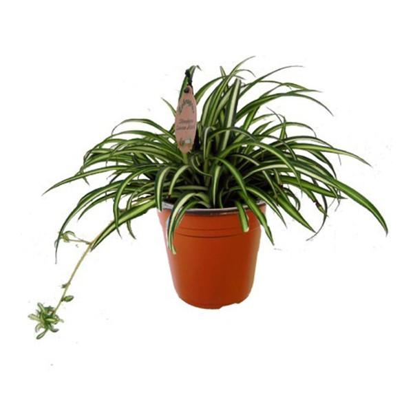 Chlorophytum comosum en pot 9cm mat riel mur v g for Plante hivernale en pot