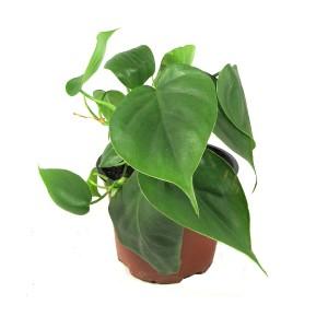 http://www.materiel-mur-vegetal.fr/297-548-thickbox/philodendron-en-pot.jpg