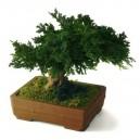 Bonsaï Juniperus Stabilisé Petit avec pot