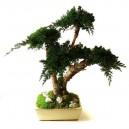 Bonsaï Juniperus Stabilisé Moyen avec pot