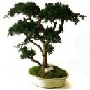 Bonsaï Juniperus Stabilisé Grand avec pot