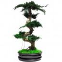 Bonsaï Juniperus Stabilisé Premium avec pot