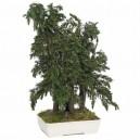 Bonsaï Juniperus Bleu Pacific Stabilisé Moyen avec pot
