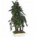 Bonsaï Juniperus Bleu Pacific Stabilisé Grand avec pot