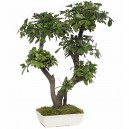 Bonsaï Pittosporum Tobira Stabilisé Grand avec pot