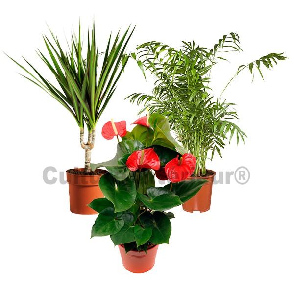 plante dpolluante interieur top le ou plante araigne est. Black Bedroom Furniture Sets. Home Design Ideas