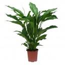 Spathiphyllum wallisii en pot Ø13cm Hauteur 50cm