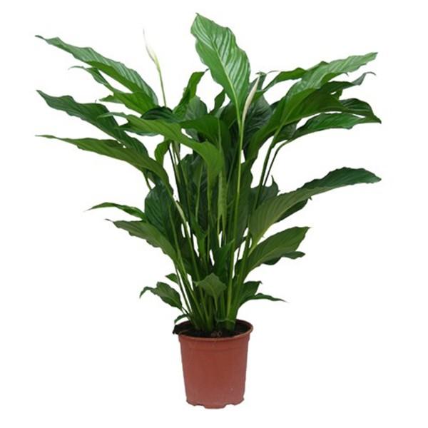 Spathiphyllum wallisii en pot 13cm hauteur 50cm for Plante hivernale en pot