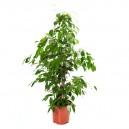 Ficus benjamina en pot Ø13cm Hauteur 50cm