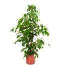 Ficus benjamina en pot Ø21cm Hauteur 110cm
