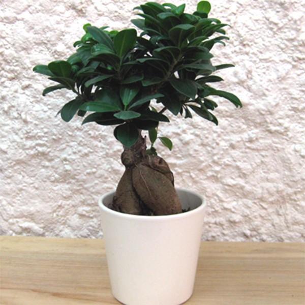 bonsa ficus microcarpa ginseng pot c ramique blanc mat riel mur v g. Black Bedroom Furniture Sets. Home Design Ideas