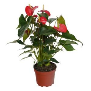 anthurium rouge en pot 17cm hauteur 65cm mat riel mur. Black Bedroom Furniture Sets. Home Design Ideas