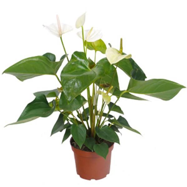 Anthurium blanc en pot 17cm hauteur 65cm mat riel mur v g - Plantes fleuries en pot ...