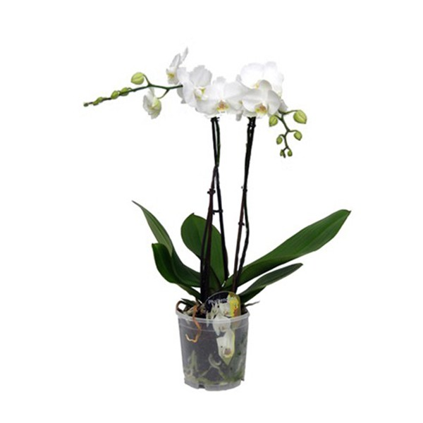 pot orchidee