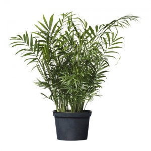 http://www.materiel-mur-vegetal.fr/544-1002-thickbox/chamaedorea-elegans-en-pot-o13cm-hauteur-50cm.jpg