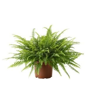 http://www.materiel-mur-vegetal.fr/545-1003-thickbox/nephrolepis-exaltata-en-pot-o12cm.jpg