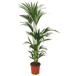 plante interieur kentia