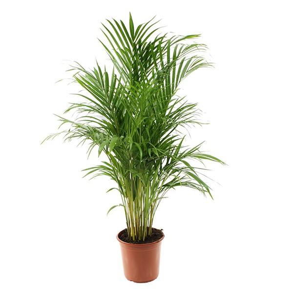 ar ca chrysalidocarpus lutescens pot 13cm hauteur 55cm mat riel mur v g. Black Bedroom Furniture Sets. Home Design Ideas