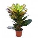 Croton Codiaeum variegatum pot Ø12cm Hauteur 45cm
