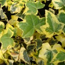 Hedera Helix Yellow Ripple en pot Ø9cm