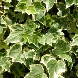 http://www.materiel-mur-vegetal.fr/577-1043-thickbox/hedera-helix-white-ripple-en-pot-o6cm.jpg