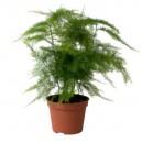 Asparagus plumosus en pot Ø9cm