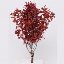Pittosporum stabilisé rouge 100gr