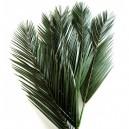 Palme de Phoenix stabilisée