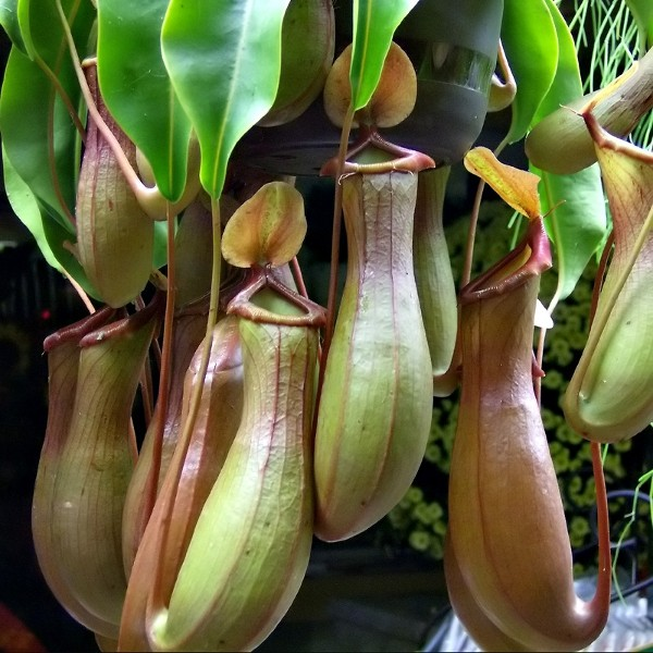 plante carnivore nepenthes alata