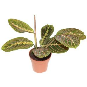 http://www.materiel-mur-vegetal.fr/945-1760-thickbox/maranta-leuconeura-en-pot-o105cm.jpg