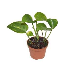 http://www.materiel-mur-vegetal.fr/946-1764-thickbox/scindapsus-aureus-en-pot-o6cm.jpg