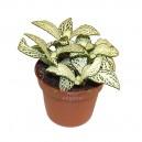Fittonia Blanc en pot Ø9cm