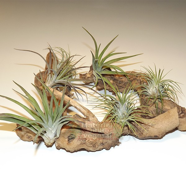 tillandsias sur branche en bois 20cm mat riel mur v g. Black Bedroom Furniture Sets. Home Design Ideas