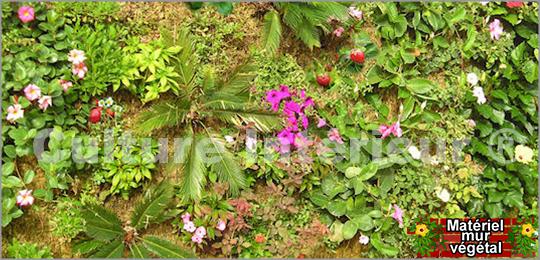 Sphaigne de Madagascar mur végétal