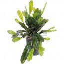 Epiphyllum large artificiel 50cm sur pique