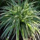 Chlorophytum Comosum en pot Ø9cm (plante araignée)