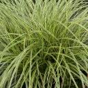 Carex Brunnea Variegata en pot Ø9cm