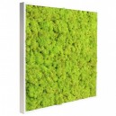 Tableau végétal stabilisé Lichen Vert Citron 60x60cm