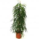 Ficus alii en pot Ø21cm Hauteur 110cm