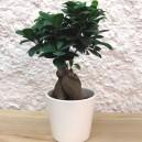 Bonsaï Ficus Microcarpa Ginseng pot céramique blanc