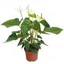 Anthurium Blanc en pot Ø17cm Hauteur 65cm