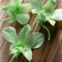 5 fleurs stabilisées Orchidée Dendrobium Vert Menthe